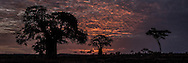 Sunrise among the baobad trees, Tarangire National Park, Tanzania - The Tree of Life
