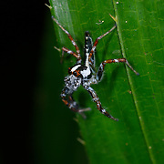 Jumping Spider ,Salticidae, at Khao Ang Rue Nai wildlife sanctuary in the Eastern Forests of Thailand