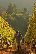 Harvesting pinot noir at Ayoub's vineyard, Dundee Hills, Willamette Valley, Oregon