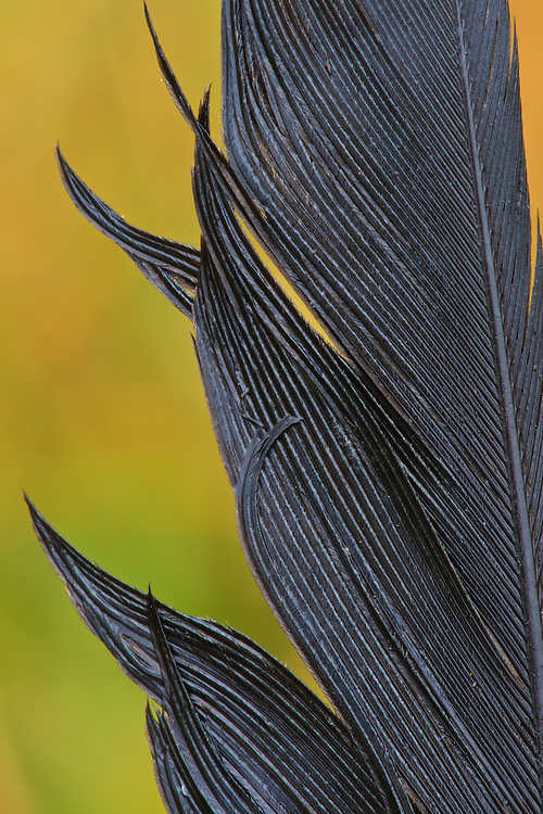 Close-up of a rain-soaked primary feather of an American crow (Corvus brachyrhynchos), Big Meadows, Shenandoah National Park, Virginia.