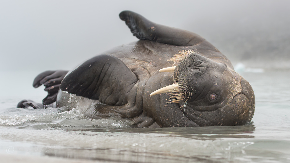 The young Walrus was clearly trying to communicate as he was rolling around in the shallow water infront of me. From the west coast of Svalbard. rolling around in the shallow water infront of me. From the west coast of Svalbard.