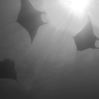A trio of Manta Rays circling in the sunlight at the Socorro Islands, off the coast of Cabo San Lucas, Mexico.