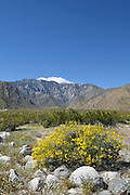 San Jacinto Mountains and Yellow Brittlebush Desert Shrub