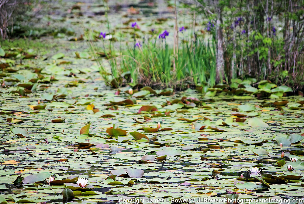 Lily Pads and Southern Blue Flag