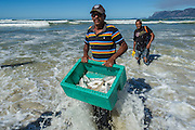 Endangered juvenile Kob that were caught in a trek net haul are released back into the sea, Strandfontein, False Bay, Western Cape, South Africa