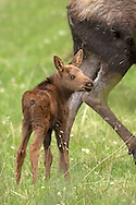 A newborn moose calf follows closely behind his mother as they head into a dense thicket of trees. Weighing only 30 pounds at birth, this little calf will grow rapidly, reaching a weight of 300 pounds by the time fall arrives.