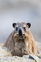 Rock Hyrax, Garden Route National Park, Eastern Cape, South Africa,
