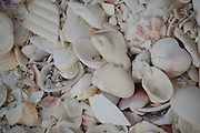 This is a close up of shells on a beach in Sanibel, Florida.