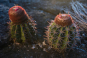 Pope's nose cactus<br /> Savanna <br /> Rupununi<br /> GUYANA<br /> South America