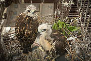 A pair of red tailed hawk (Buteo jamaicensis) chicks that are just about fledged in a nest, on a fire escape, in downtown Portland, Oregon.
