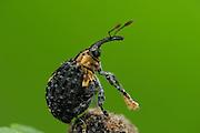 Weevil (Cionus tuberculosus), Burgwald, Gearmany | Wenn der Braunwurzschaber (Cionus tuberculosus) an den Blütenständen seiner Wirtspflanze frißt oder sich dort paart, ist er gut getarnt. Zur Fortpflanzung krabbelt das Weibchen aber auf den grünen Stängeln und Blättern des Braunwurzes herum. An einer geeigneten Blattrippe wird es seine Eier ablegen.