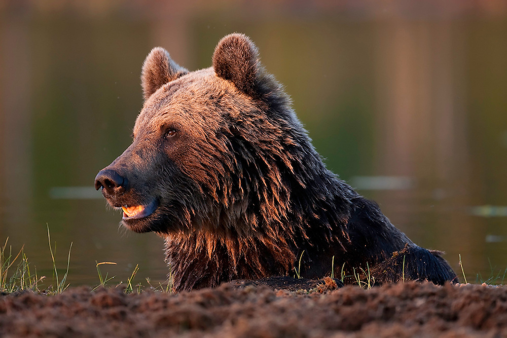 European brown bear (Ursos arctos) resting after swimming in lake, Kuhmo, Finland.