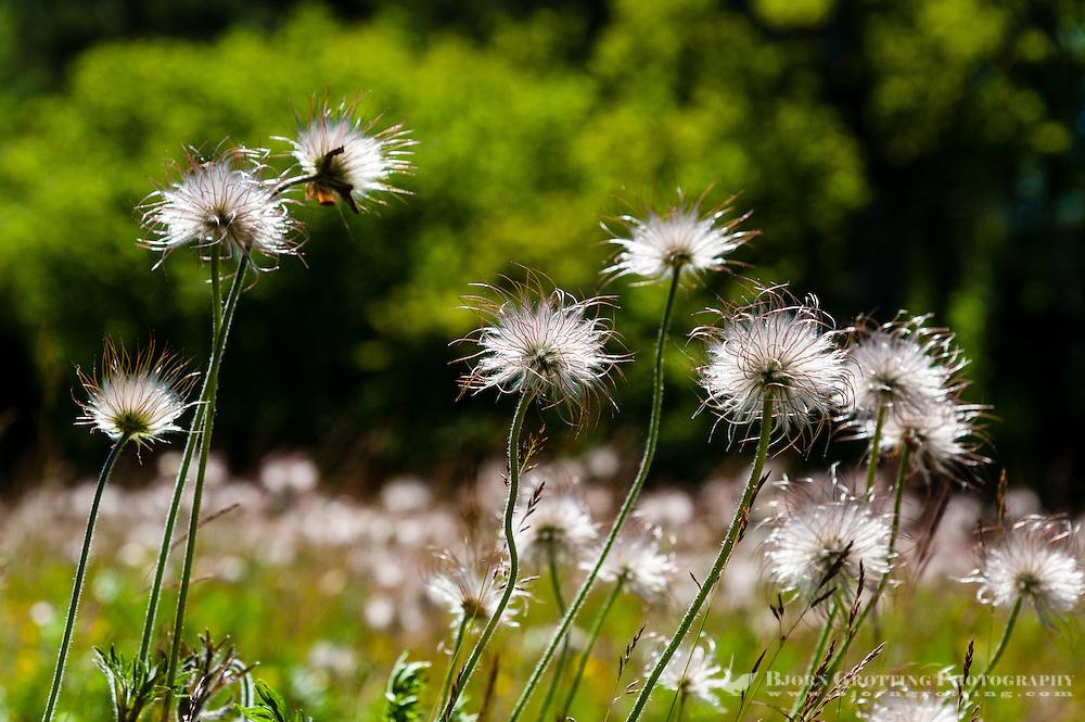 Sweden, Gotska Sandön national park. North side of the island. Small Pasque Flower.