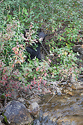 Black Bear eating berries near a creek in Grand Teton National Park