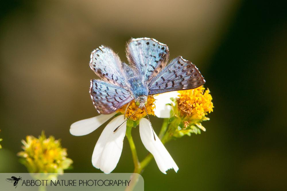Blue Metalmark (Lasaia sula peninsularis)<br /> TEXAS: Cameron Co.<br /> Resacca De La Palma State Park<br /> 9-Nov-2014<br /> J.C. Abbott &amp; K.K. Abbott