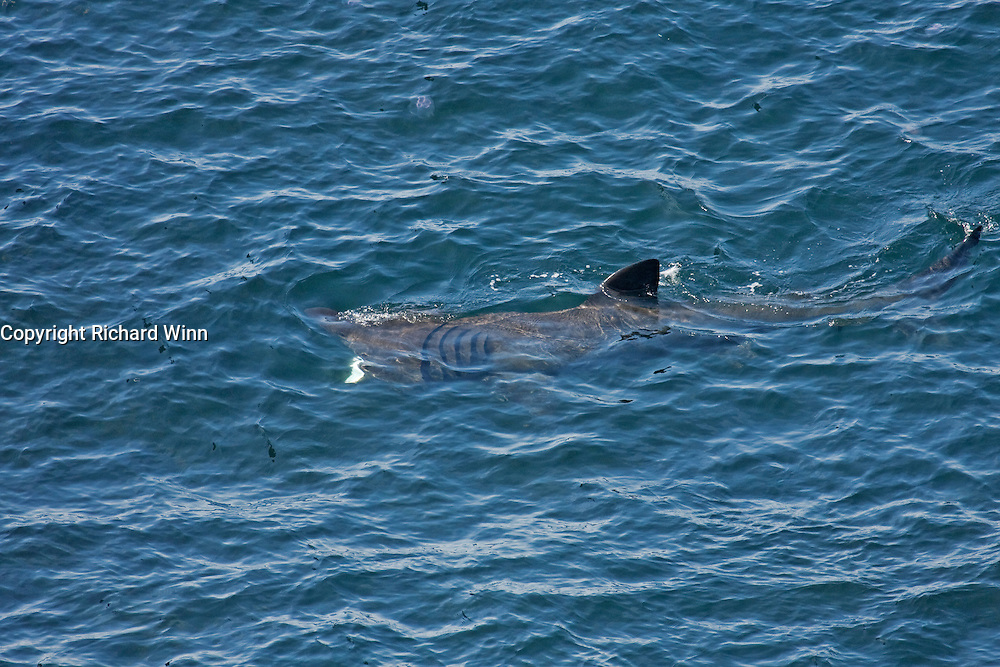 View of a basking shark at Neist Point, the most westerly point of the Isle of Skye.