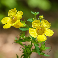 Fernleaf yellow false foxglove (Aureolaria pedicularia var. intercedens). A threatened species in NH. It grows in specific oak habitats.<br />