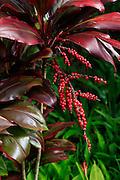Ti, plant, Garden of Eden, botanical garden, Hana Coast,