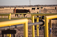 Cows in a field with natural gas pipes that are part of the fracking industry site in the Eagle Ford Shale region in Texas .