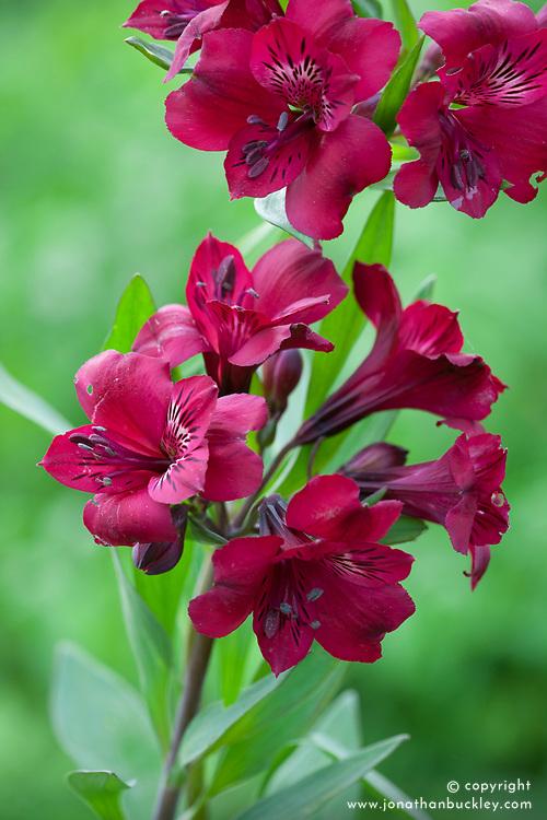 Alstroemeria 'Monte Cervino'. Peruvian Lily