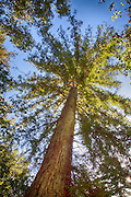 Looking Up At The Giant Redwood Trees In Big Sur