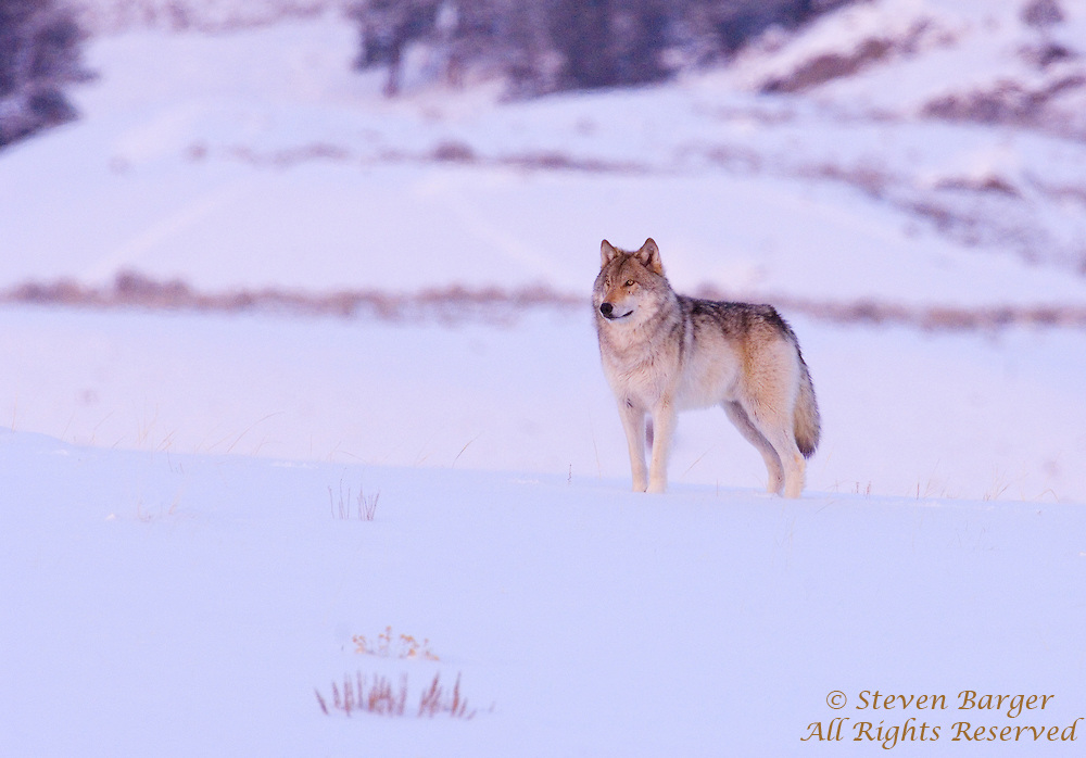 Wild wolf posing late in the evening in Lamar Velley in Yellowstone National Park Wyoming.