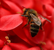 macro photography: bees on red flower