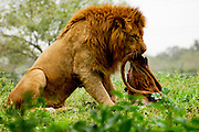 Male African Lion Panthera leo eating a hunted carcass