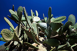 Detailed view of a large cactus plant, Old Town San Diego, California, United States of America