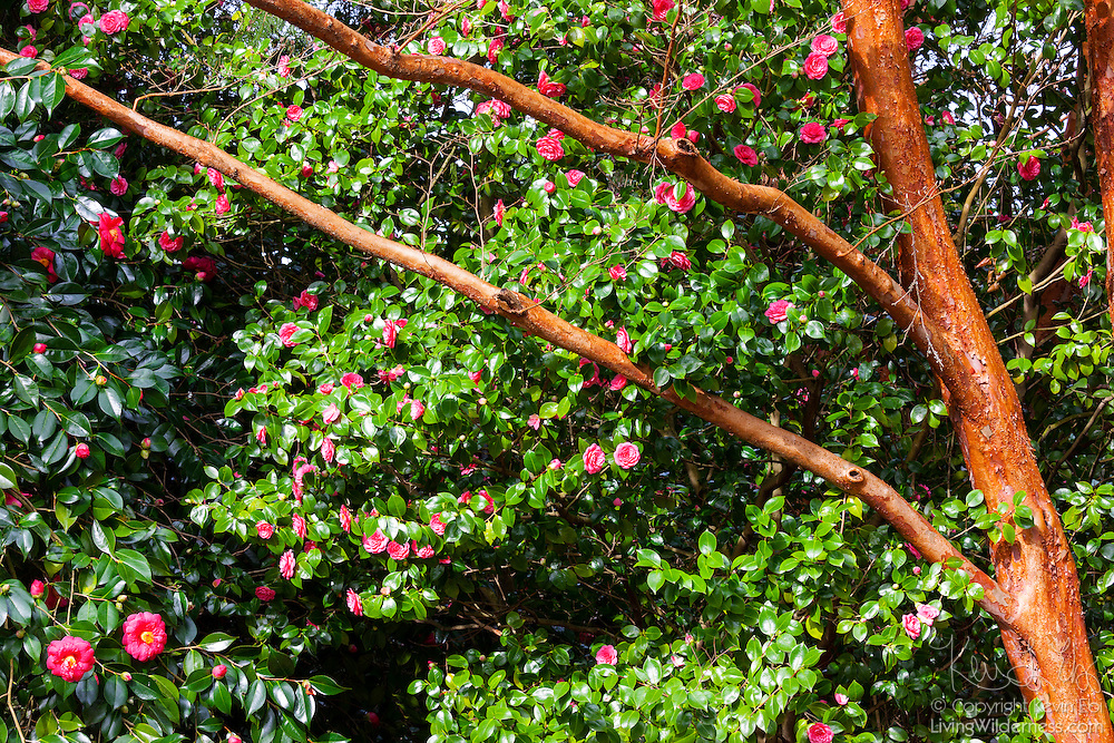 Red blossoms, mainly Camellia japonica, are framed by the branches of a Stewartia monadelpha tree, which is related to camellias.