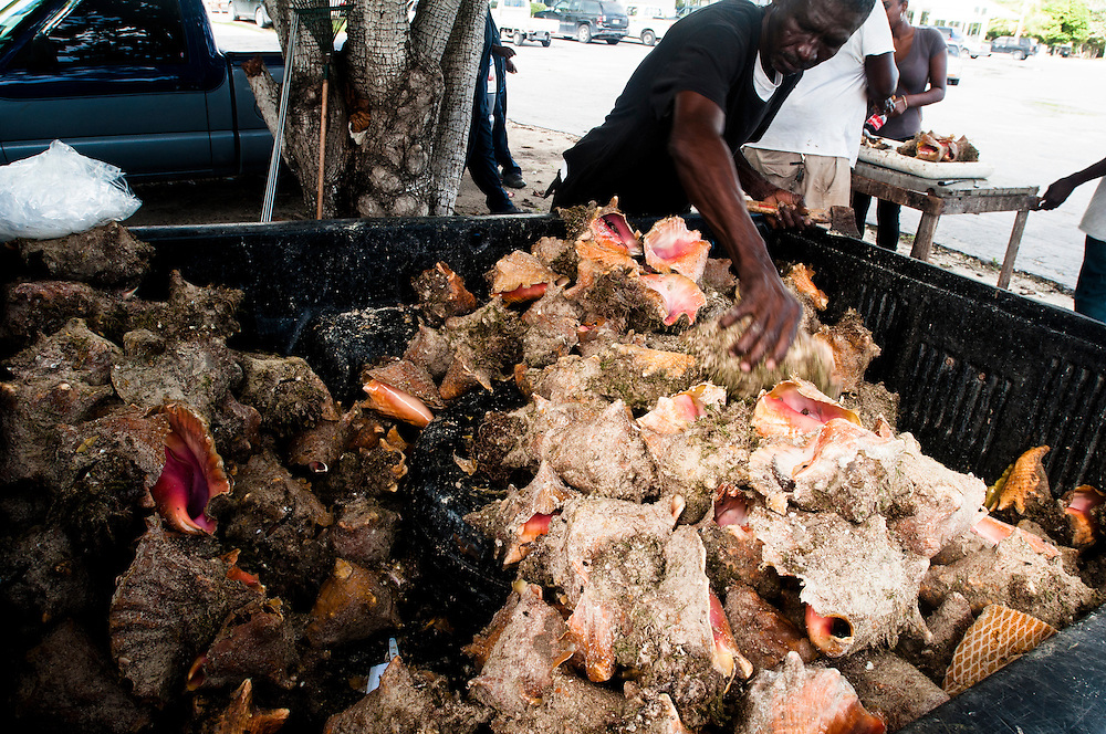 A pickup truck is used to transport the large catch of conch. The fisherman will then crack them out of their shells in the parking lot where they are also sold to tourists and locals.