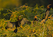 African Darters - Anhinga rufa, three of them sitting in a tree with one spreading its wings out to dry