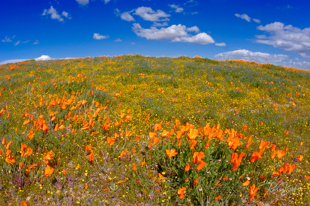 California Poppy (Eschscholzia californica) and Goldfields (Lasthenia californica), Antelope Valley, California