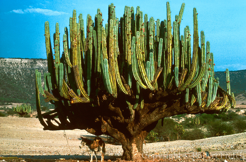 MEXICO, LANDSCAPES giant cactus with a donkey tied to it for shade in the Great Sonoran Desert of northern Mexico