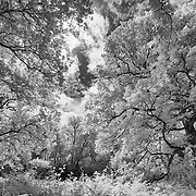 Black and white trees. Shot in infrared and converted.