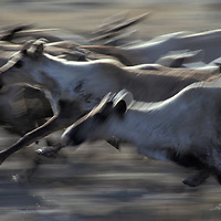Russia, Magadan District, Blurred image of running reindeer in narrow valley on Taigonosk Peninsula during spring antler harvest