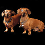 Dachshund boys posing for their photographer and playing with their tennis ball.