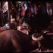 Photo by David Stephenson.   A water buffalo walks freely past vendors in a market in Dharamsala, Inida in 11/91.
