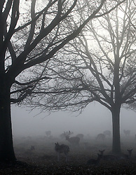© Licenced to London News Pictures. 11/12/2013. London. UK.  <br /> General view of deer pictured in the foggy weather in Richmond Park in London, December 11th 2013.<br /> Photo Credit: Susannah Ireland