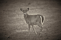 Late Fall Doe. Backyard Nature in New Jersey. Image taken with a Nikon D3x and 600 mm f/4 VR lens (ISO 100, 600 mm, f/4, 1/500 sec). Raw image processed with Capture One Pro 7 and Nik Silver Efex Pro 2.
