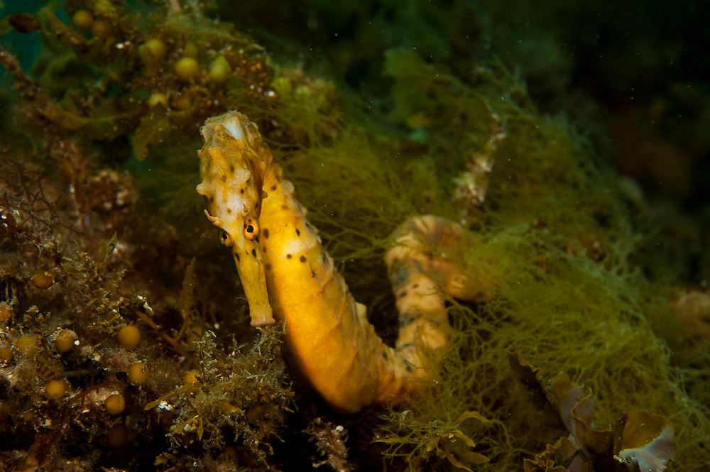 Pot Bellied or Big Bellied Seahorse (Hippocampus abdominalis) photographed underneath the Blairgowrie Jetty in the Mornington Peninsula in Victoria, Australia.