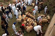Israel, West Bank, Mount Gerizim, Samaritan Passover Sacrifice ceremony The Sacrificed Sheep