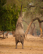 A bull elephant with the rare ability to stand on its hind legs reaches for branches at Mana Pools National Park, Zimbabwe