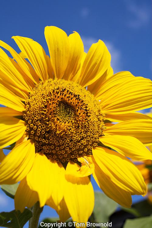 Mature Sunflower blooming