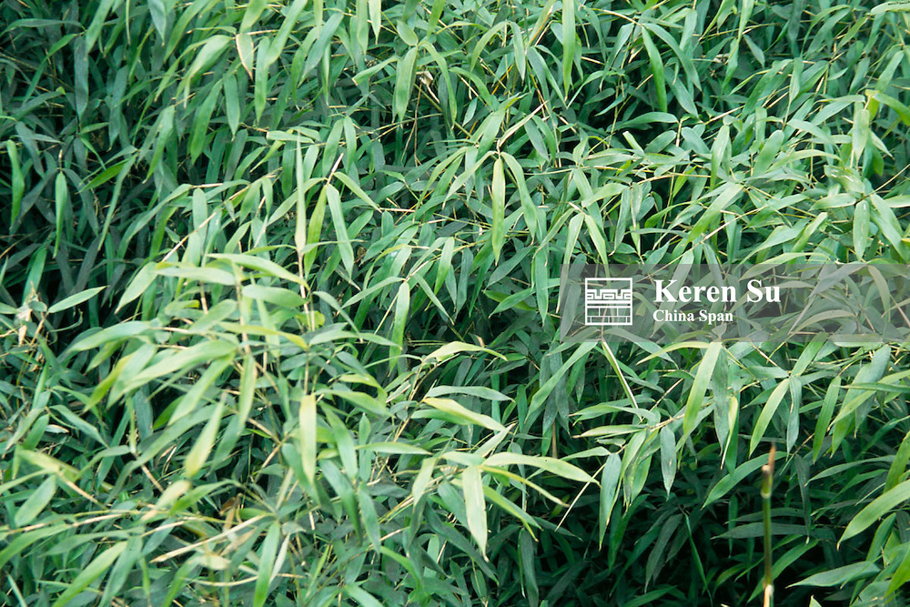 Arrow bamboo, Giant Panda's food, Wolong Valley, Sichuan Province, China