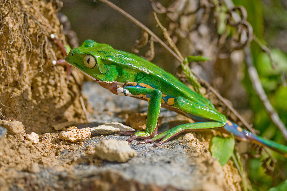 Burmeister's leaf frog,Phyllomedusa burmeisteri, in Serra Bonita, Bahia State, Brazil