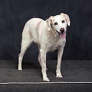 senior dog in studio