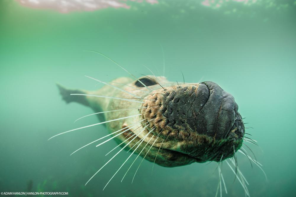 Harbor seal (Phoca vitaluna) presses its nose onto the photographer's camera. Farne Islands, Northumberland, UK.