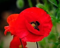 Red or Oriental Poppy. Image taken with a Fuji X-H1 camera and 200 mm f/2 OIS lens + 1.4x teleconverter