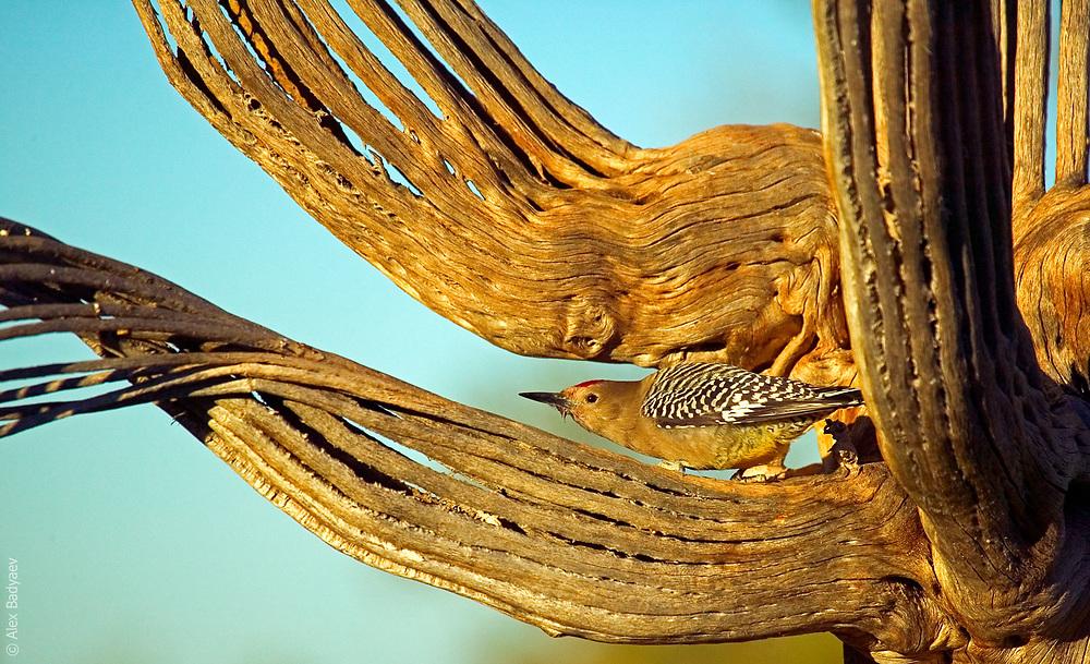 THE ESSENCE OF GILA WOODPECKER   Male gila woodpecker (Melanerpes uropygialis) in paradise on a irresistibly multisurfaced skeleton of giant saguaro (Carnegiea gigantean) cactus